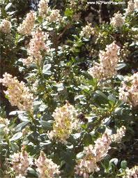 escallonia hedges