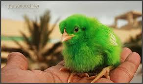 green chickens