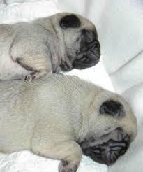pug dog adoption