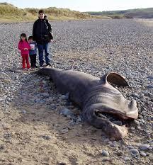basking sharks pictures