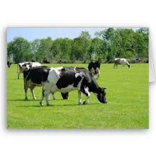 pictures of cows grazing