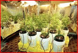 cannabis lamp