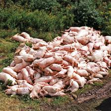 hog slaughtering