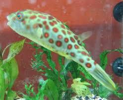freshwater puffer