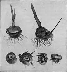 gladioli corms