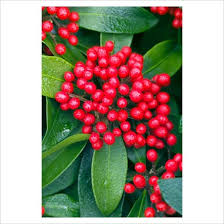 shrubs with red berries