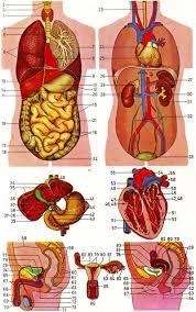 human male anatomy