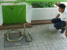 king cobra snake wallpapers