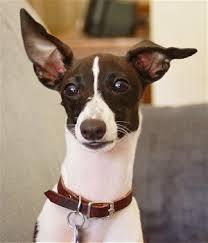 white italian greyhound