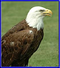 pictures of hawks and eagles
