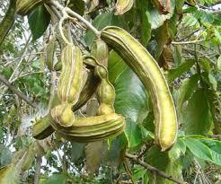 guama fruta