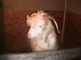 capre de rasa