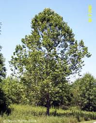 western sycamore tree