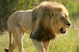 male lion pictures