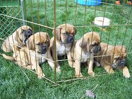 puggle puppies sale