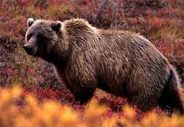 grizzlies bear