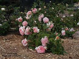 hybrid tea rose bushes