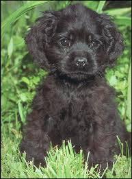 chocolate cocker spaniel puppy