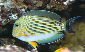 clown tang fish