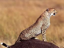 animal cheetahs