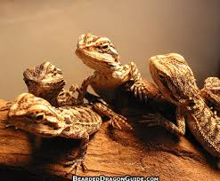 bearded dragons baby