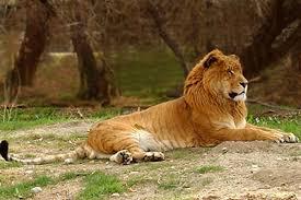info on ligers