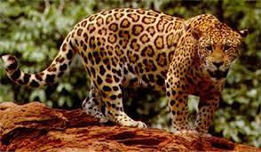 fotos de jaguar