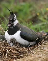 birds of england