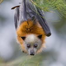 flying foxes bats