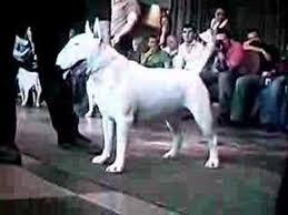 bull terrier videos