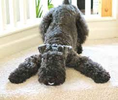 blue kerry terrier