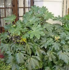 fatsia japonica aralia