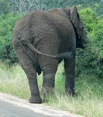 elephant muscle