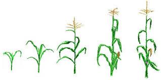 corn drawings