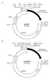 luciferase vectors