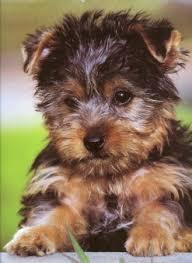 australian silky terrier puppies