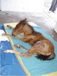 caballos pariendo