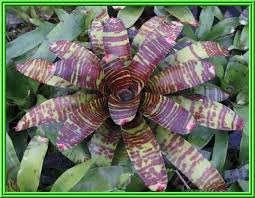 bromelain plant