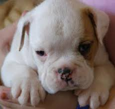 australian puppies for sale