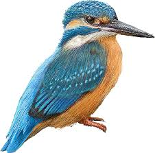 kingfisher clip art
