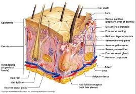 layers of skin diagram
