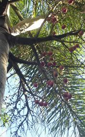 foxtail palm seedlings
