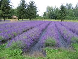 lavender farms