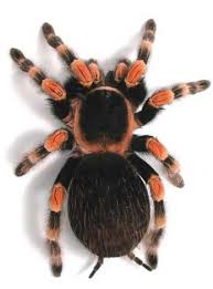mexican flame knee tarantula