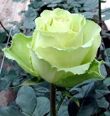 green rose plants