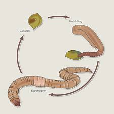life cycle earthworm