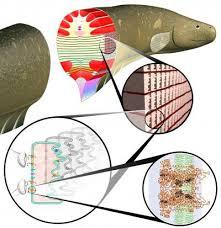electric eel anatomy