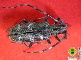 Bursaphelenchus xylophilus (nematodo del pino)