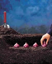bulbs planting