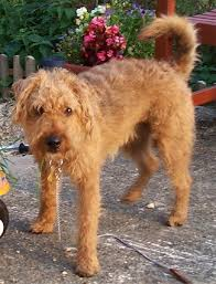 lakeland terrier dog